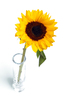 Sunflower In Vase Y T Image