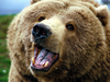 Grizzly Bear Widescreen Photo Image