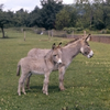 Donkey And Foal Together Ap Jpa F Th Image