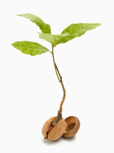Acorn Sprout   Free Images at Clker.com - vector clip art ...