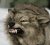 Angry Wolf Image