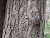 Red Maple Bark Image
