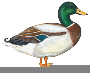 Flying Duck Clip Art