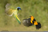Green Jay Flying Image