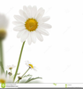 Daisies Clipart Flowers Image