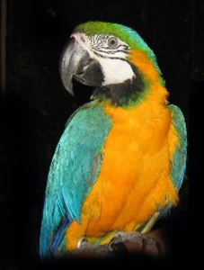 Blue Gold Macaw X Image