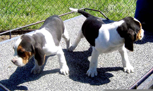 Treeing Walker Puppies Free Images At Clkercom Vector Clip Art