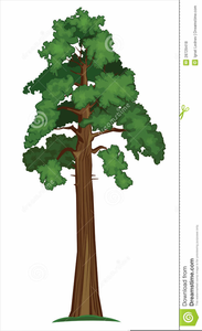 Redwood Tree Clipart Free Image