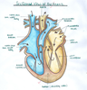 Clipart Pictures Human Heart Image