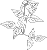 Clematis Occidentalis Outline Clip Art
