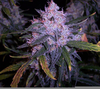 Jack Frost Weed Image
