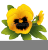 Yellow Pansy Clipart Image