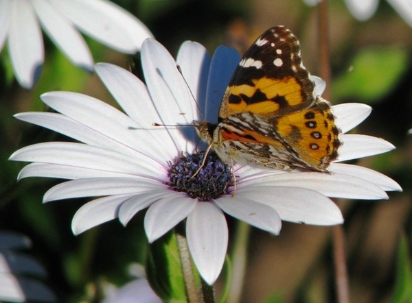 butterfly on daisy free images at clkercom vector