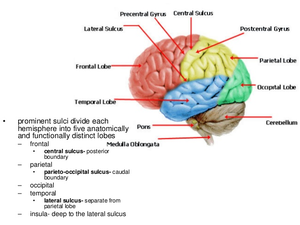 brain tissue types free images at clker com vector clip art Rat Brain Diagram