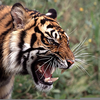 Tiger Profile Roar Image