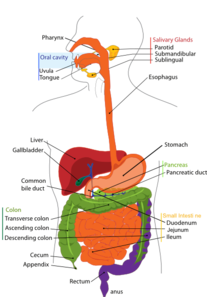 Large Digestive System Clip Art