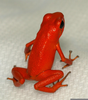 Red Frogs Poisonous Image