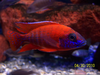 Red Peacock Cichlid Image