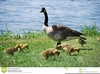 Goose And Goslings Clipart Image