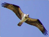 Sea Hawk Wingspan Image