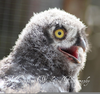 Baby Snowy Owls Image
