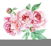 Free Peony Clipart Image