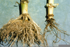 Adventitious Roots Corn Image