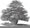Yew Tree Drawing Image