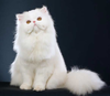 White Persian Cat Image