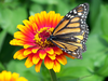 Monarch Butterfly On Flower Image