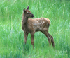 Baby Elk Picture Image