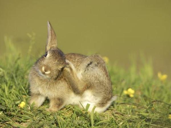 Rabbit scratch