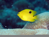 Spot Damselfish Image
