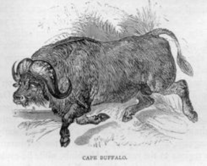 African Buffalo Black And White Image