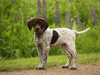 German Shorhair Pointer Clipart Image