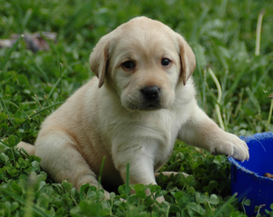 Puppy Lab Hd Wallpaper Image