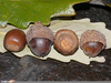 Chestnut Oak Acorns Image
