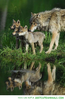 Animals Wolf Family Image