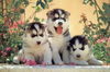 Pictures Of Excellent Female Siberian Husky Puppies Image