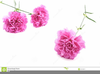 Pink Carnations Clipart Image
