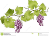 Free Clipart Grapevines Image