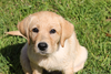 Lab Puppy Image