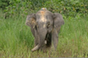 Dwarf Elephant Facts Image