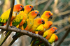 Yellow Parrots Name Image