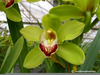 Green Cymbidium Orchids Image