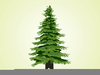 Everygreen Tree Branches Clipart Image
