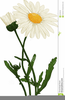 Daisies Flower Clipart Image