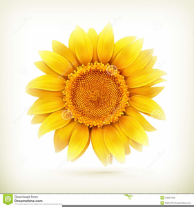 Sunflower Drawing Clipart Image