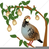 A Partridge In A Pear Tree Clipart Image