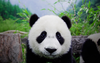 Panda Face Hd Wallpaper Vvallpaper Net Image